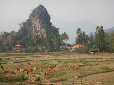 This is the dry season so the rice fields are fallow; cows and water buffalo graze the rice paddies this time of year