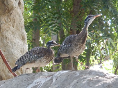 The sunbittern's range extends from Guatemala to Brazil and they famously display their large wings, that exhibit a pattern that resemble eyes, when they feel threatened