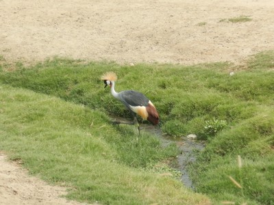 The endangered East African crowned crane is the national bird of Uganda and is found in eastern and southern Africa; they are beautiful birds and I always enjoyed seeing them when on tours in Africa