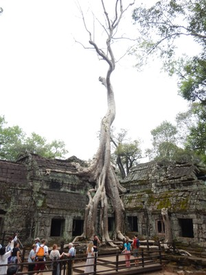 You'd think spung trees would find an easier place to grow than right on top of a temple, like Ta Prohm; the cost for a 2 day pass to visit the Angkor temples costs $67 US