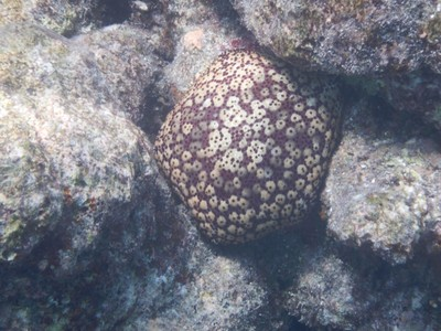 Pincushion sea star; Maamigili is a 30 minute flight from Male and within an easy speedboat ride of some of the most upscale resorts in the Maldives