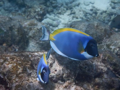 The powderblue surgeonfish was one of my favorites here due to its distinctive and atypical coloration; the other tourists on the island I met were all from Germany and Italy