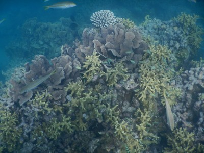 In this area of the Maldives, there is very little coral that is alive; there is plenty of coral debris but even along the reef there is not much color except from the tropical fish
