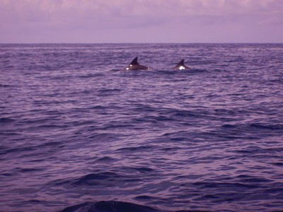 In addition to finding whale sharks, we saw dolphins and turtles; Maamigili has only a few small guesthouses, 3 restaurants, 1 ATM but does have the only airport in the Ari Atoll
