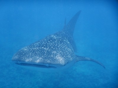 The highlight of my week on Maamigili was coming face to face with this whale shark!; even after seeing me, the shark stayed just below the surface passing so close that I was able to just reach out and touch him
