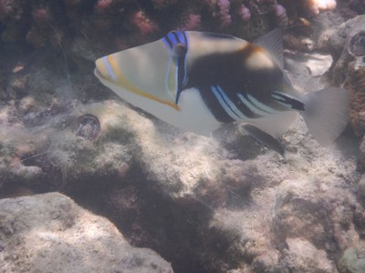 Picasso triggerfish; Sun Island Resort is on South Ari Atoll which is 1.6 km long by 400 m wide; I was surprised that there were very few Asians at the resort but guests were almost all European