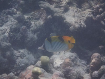 Blackwedged butterflyfish; there were lots of tropical fish I saw but that were too deep and/or too fast to photograph well