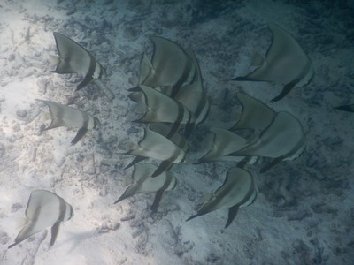 School of batfish; the island was extremely clean and grounds well-tended with a large, outdoor pool area