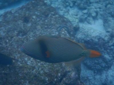 Orange-lined triggerfish; the Maldives is one of the world's most geographically dispersed sovereign states as well as the smallest Asian country by land area and population, with around 427,756 inhabitants