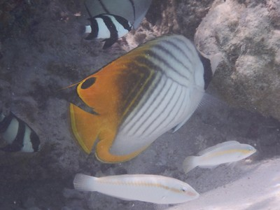 Threadfin butterflyfish; in 1998, sea-temperature warming of as much as <dfn title='41&deg;F'>5 °C</dfn> (<dfn title='-13&deg;C'>9.0 °F</dfn>) due to a single El Niño phenomenon event caused coral bleaching, killing two-thirds of the nation&#39;s coral reefs