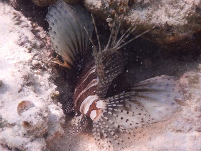 One of two lionfish I saw during my week in the Maldives; lionfish are very rare to spot in the Maldives, but they are deadly if you get bitten by its poisonous sting and medical care is not obtained fast