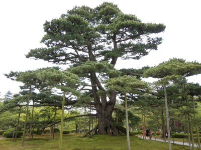 The Neagarinomatsu Pine, planted in 1856, is famous for its raised roots; it's fascinating to see the level of care given to the old trees and every minute detail of the garden