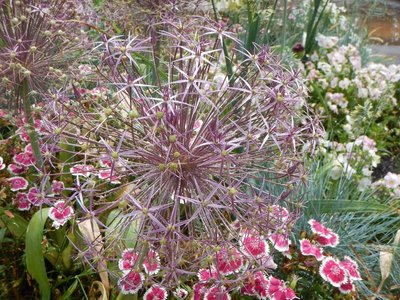 Had not seen Starburst Allium before; it's actually a member of the onion and garlic family