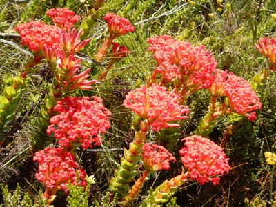 Red crassula flowers on Table Mountain; this perennial is a small, succulent shrublet that grows up to 16 inches tall and is native to South Africa