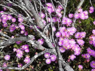 The Table Mountain ice plant is a hardy, drought-tolerant ground cover that forms a ground-hugging carpet that faithfully blooms season after season; it is one of the many wildflowers we saw hiking