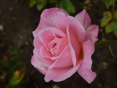 Rose named after Princess Grace; Monaco has the highest life expectancy (89.5 years) in the world