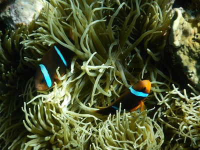 Clownfish; Palau is unusual in that there is virtually no shore snorkeling since there are no beaches on the tree-covered islands