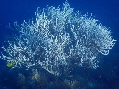 Branching whip coral; soft corals are integral members of the reef ecosystem and provide habitat for fish, snails, algae and a diversity of other marine species