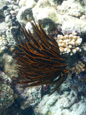 Feather star crinoid; these animals are related to sea stars and sea cucumbers