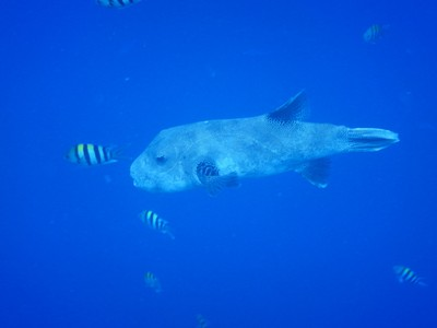 Blue-spotted pufferfish; this species is solitary, shy and active during the day (they also have 4 strong teeth)