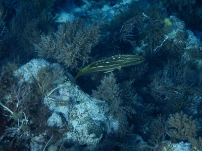 Juvenile silverlined cardinalfish (?); only 8 of the hundreds of islands that make up Palau are inhabited
