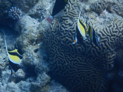 Moorish idols with brain coral; Palau is expensive to visit partly because the diving and snorkeling requires a boat rental or organized group trip