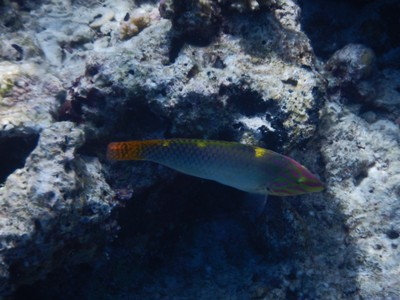 Checkerboard wrasse; there is an annual calendar of underwater activity here so each month you're guaranteed to see something different