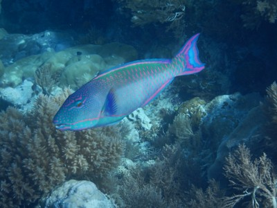 Festive parrotfish; yes, that's actually the name of this colorful species