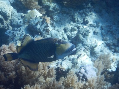 Titan triggerfish; the locals on Palau tend to have bad teeth and I only saw one dentist office