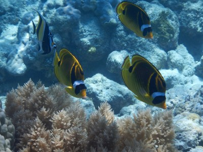 Raccoon butterflyfish; since Palau is surrounded by a national park, everyone has to pay $100 for a 10 day pass in order to do any snorkeling or diving