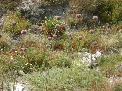 Allium forelock adorning the dry, rocky terrain; there are locusts everywhere and they are quite noisy
