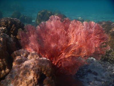 Gorgeous, large, pink sea fan; Palau has little variation in temperatures throughout the year with average monthly highs of 87 or 88 and average monthly lows of 75 or 76