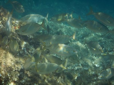 There were more fish around Ile de Farina than at other southern Corsica beaches; the fish were usually one here and one there but occasionally there were small schools