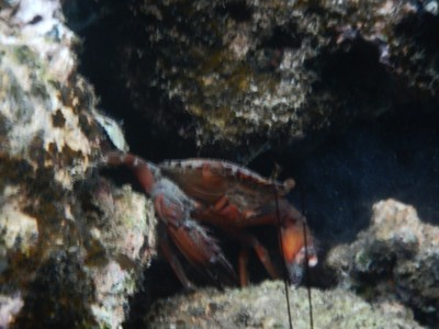 Mean-looking crab; the Palau population was 50,000 in 1783 but the arrival of Europeans brought epidemics so that by 1901 the population was only 3700
