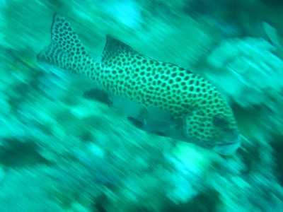 Many-spotted sweetlips; this species of grunt can grow to 28 in long; underwater visibility where we dove was exceptional with 100 ft being the norm