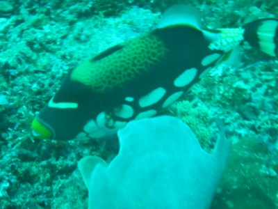 Clown triggerfish; because of its attractive coloration, this fish is one of the most highly prized aquarium fish but owners need to be careful since it has very sharp teeth
