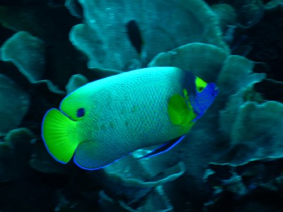 Yellowmask angelfish; some members of this species live in harems while others live in pairs, they can be highly territorial and make a loud drumming sound when alarmed
