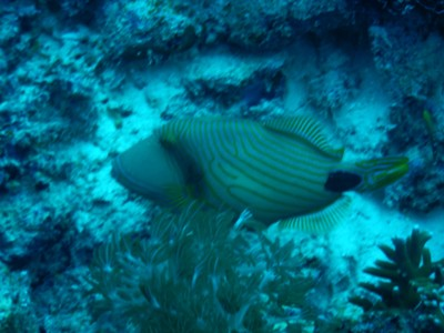Orange-lined triggerfish; this species, given its broad diet and distribution, is a crucial component in coral reef ecosystems through top-down control and especially through consumption of sea urchins