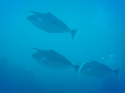 Humpback unicornfish; this species can grow to be a foot long but only the males have the horn