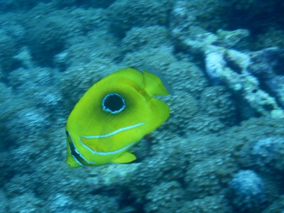 Eclipse butterflyfish; they thrive on a diet of coral polyps, tentacles of featherdusters and Christmas-tree worms; they need to hover motionless while picking at the coral and dart swiftly over short distances to get the worm before it retracts