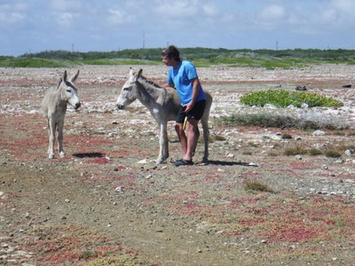 Donkey and me; in the 16th century, Europeans introduced sheep, goats, pigs, horses and donkeys on Bonaire, and the descendants of the donkeys, goats and pigs roam the island today