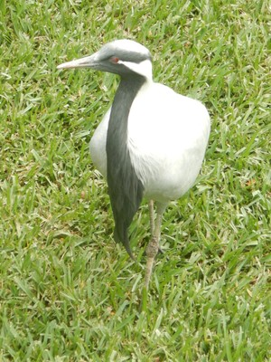 The demoiselle crane, the smallest species of crane, is a migratory bird found in central Eurosiberia; the demoiselle was so named by Queen Marie Antoinette, for its delicate and maiden-like appearance
