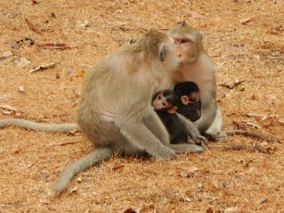 Most of Cambodia's primates were eliminated in the 1980s due to poaching, but gibbons and langurs have been reintroduced to Angkor; with 2  million visitors per year Angkor is ideal to attract attention to endangered species
