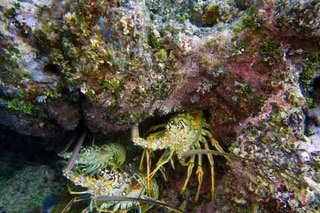 Bob took this photo of 3 lobsters; unfortunately I didn't see them