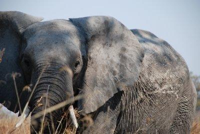 Elefante Moremi Game Reserve