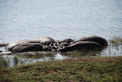 Hippos at Chobe Riverfront