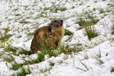 Marmot in the snow