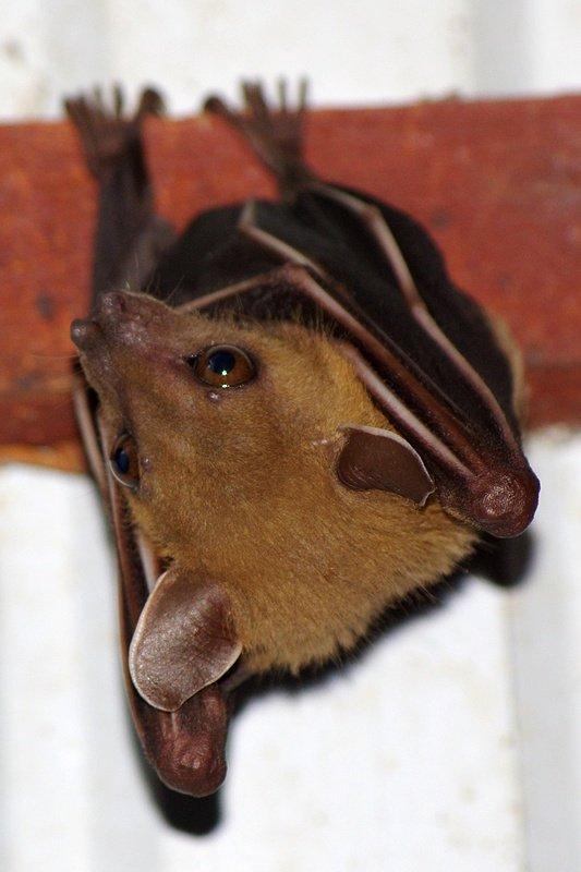 Fruit bat, Khao Sok National Park