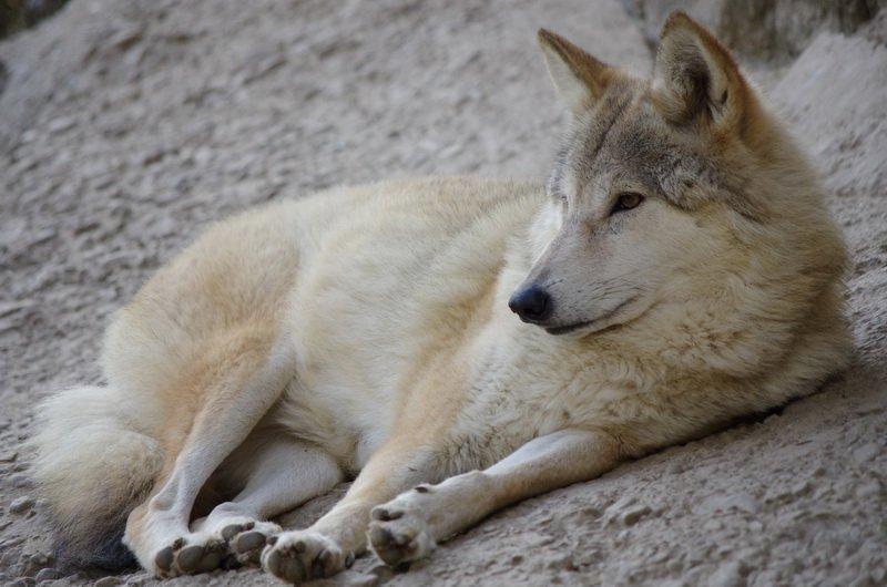 Himalayan wolf at Darjeeling Zoo