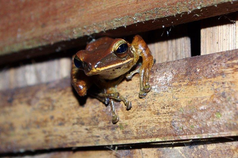 Tree frog, Khao Sok National Park